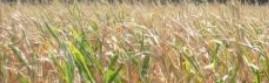 cropped-cropped-cornweb.jpg