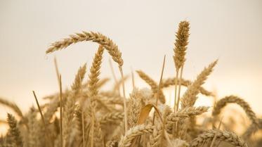 wheat-867612_960_720 2