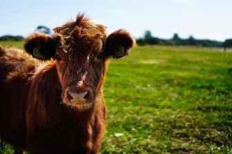 bull-calf-heifer-ko-162240.jpeg