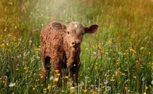 calf-brown-reddish-small.jpg