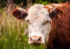 close up photo of white and brown cattle